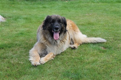Leonberger Princess. Bild 2